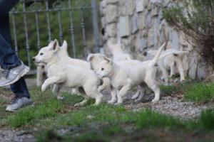 White-Shepherd-Puppies-BTWW-Spartans-05112019026