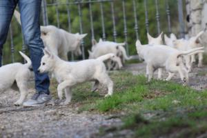 White-Shepherd-Puppies-BTWW-Spartans-05112019027