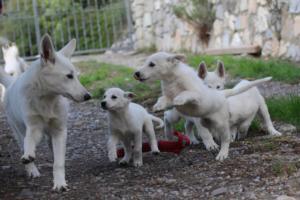 White-Shepherd-Puppies-BTWW-Spartans-05112019028