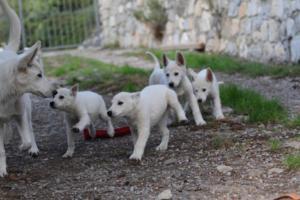 White-Shepherd-Puppies-BTWW-Spartans-05112019029