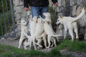 White-Shepherd-Puppies-BTWW-Spartans-05112019030