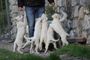 White-Shepherd-Puppies-BTWW-Spartans-05112019031