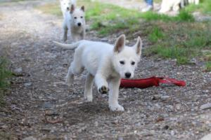 White-Shepherd-Puppies-BTWW-Spartans-05112019032