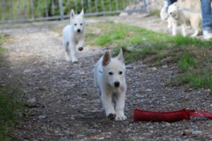 White-Shepherd-Puppies-BTWW-Spartans-05112019033