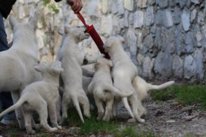 White-Shepherd-Puppies-BTWW-Spartans-05112019034