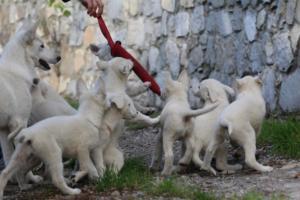 White-Shepherd-Puppies-BTWW-Spartans-05112019035