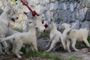 White-Shepherd-Puppies-BTWW-Spartans-05112019036