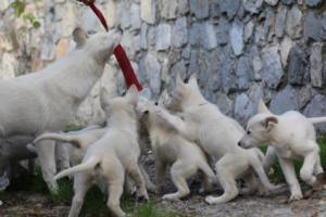 White-Shepherd-Puppies-BTWW-Spartans-05112019037