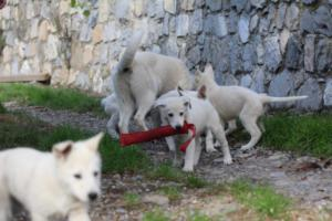 White-Shepherd-Puppies-BTWW-Spartans-05112019038