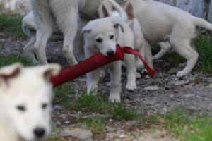 White-Shepherd-Puppies-BTWW-Spartans-05112019039