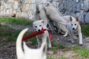 White-Shepherd-Puppies-BTWW-Spartans-05112019040