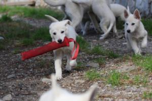 White-Shepherd-Puppies-BTWW-Spartans-05112019041