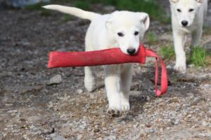White-Shepherd-Puppies-BTWW-Spartans-05112019042