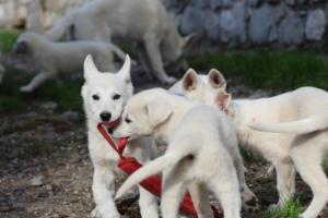 White-Shepherd-Puppies-BTWW-Spartans-05112019043