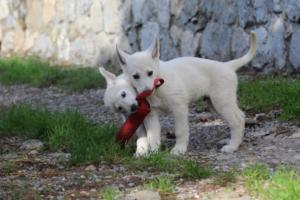 White-Shepherd-Puppies-BTWW-Spartans-05112019044