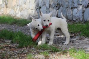 White-Shepherd-Puppies-BTWW-Spartans-05112019045