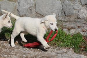 White-Shepherd-Puppies-BTWW-Spartans-05112019046