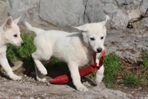 White-Shepherd-Puppies-BTWW-Spartans-05112019047