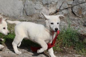 White-Shepherd-Puppies-BTWW-Spartans-05112019048