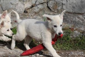White-Shepherd-Puppies-BTWW-Spartans-05112019049