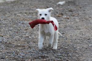 White-Shepherd-Puppies-BTWW-Spartans-05112019050