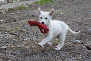 White-Shepherd-Puppies-BTWW-Spartans-05112019051