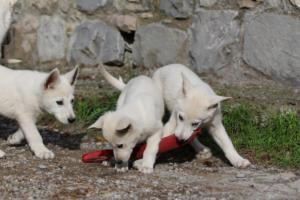 White-Shepherd-Puppies-BTWW-Spartans-05112019052