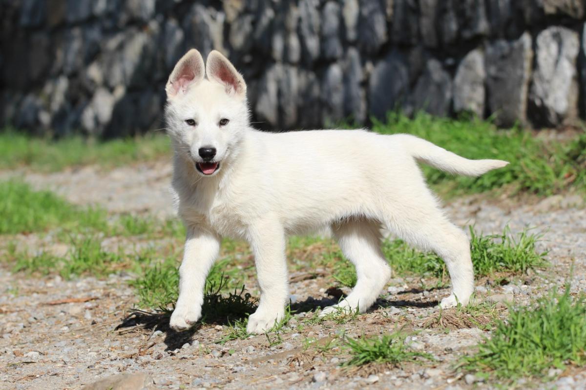 White Shepherd Puppy BTWW Samson
