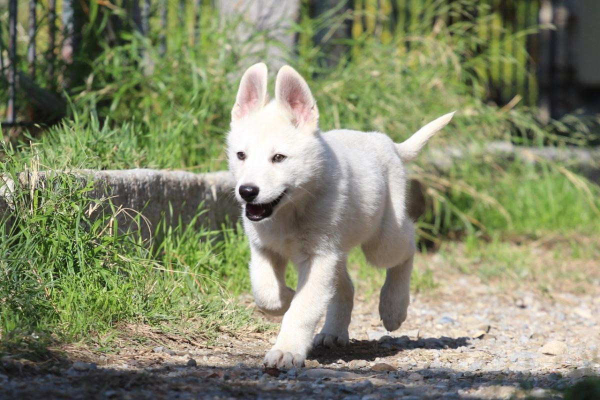 White Shepherd Puppy BTWW Siciliano