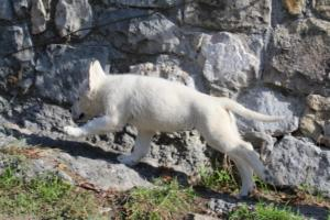White-Shepherd-Puppies-BTWW-Spartans-06112019-014