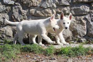 White-Shepherd-Puppies-BTWW-Spartans-06112019-020