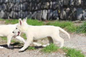White-Shepherd-Puppies-BTWW-Spartans-06112019-021