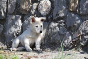 White-Shepherd-Puppies-BTWW-Spartans-06112019-022