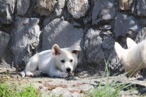 White-Shepherd-Puppies-BTWW-Spartans-06112019-023