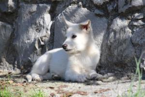 White-Shepherd-Puppies-BTWW-Spartans-06112019-024