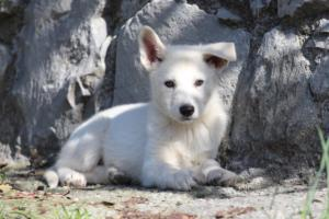 White-Shepherd-Puppies-BTWW-Spartans-06112019-025