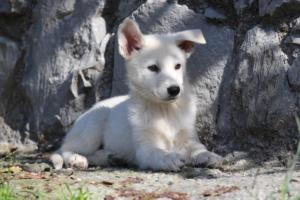 White-Shepherd-Puppies-BTWW-Spartans-06112019-026