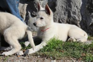 White-Shepherd-Puppies-BTWW-Spartans-06112019-027