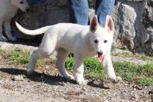 White-Shepherd-Puppies-BTWW-Spartans-06112019-028
