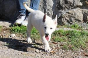 White-Shepherd-Puppies-BTWW-Spartans-06112019-029