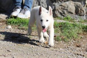 White-Shepherd-Puppies-BTWW-Spartans-06112019-030