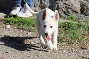 White-Shepherd-Puppies-BTWW-Spartans-06112019-031