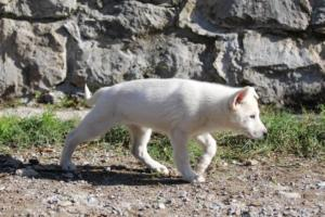 White-Shepherd-Puppies-BTWW-Spartans-06112019-032