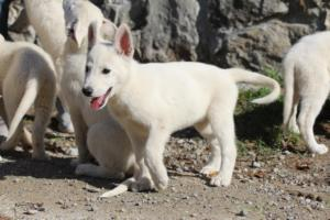 White-Shepherd-Puppies-BTWW-Spartans-06112019-033