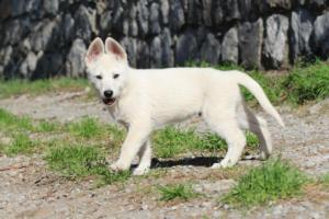 White-Shepherd-Puppies-BTWW-Spartans-06112019-034
