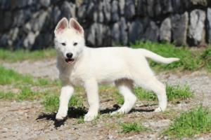 White-Shepherd-Puppies-BTWW-Spartans-06112019-035