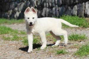 White-Shepherd-Puppies-BTWW-Spartans-06112019-036