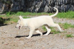White-Shepherd-Puppies-BTWW-Spartans-06112019-037