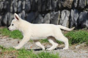 White-Shepherd-Puppies-BTWW-Spartans-06112019-038