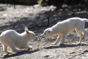 White-Shepherd-Puppies-BTWW-Spartans-06112019-039